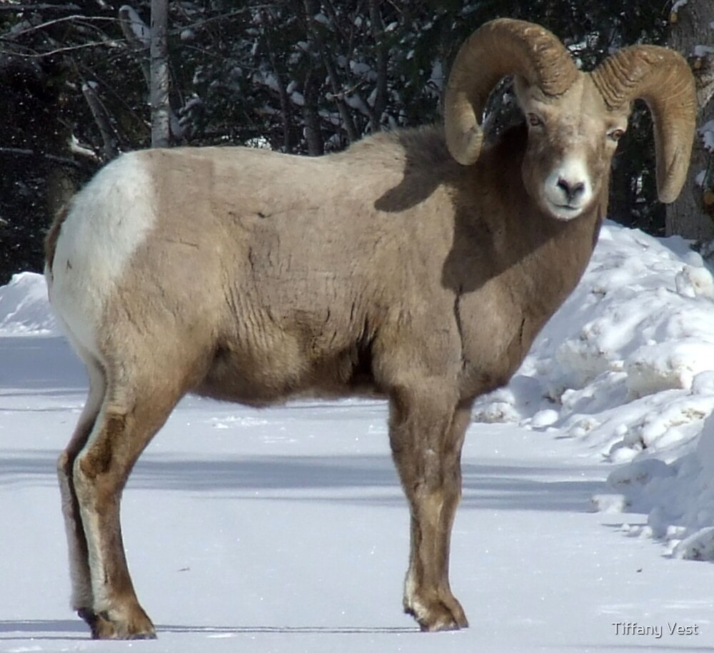 Winter Ram by Tiffany Vest