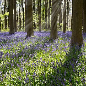 Bluebell Light by PeterVines