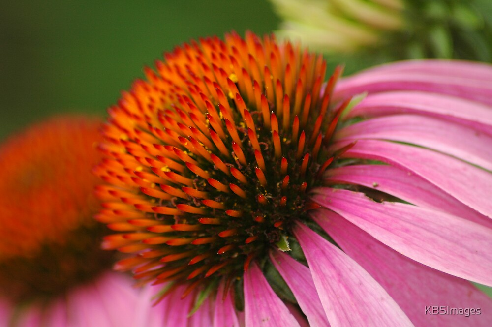 Coneflower 2 by KBSImages