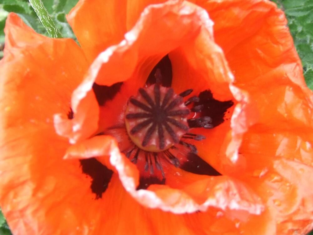 Sunburnt Poppy by Cassandra Devine