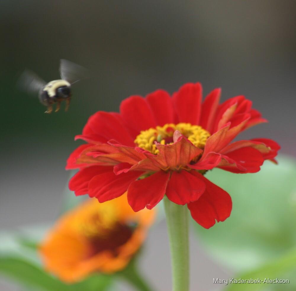 Bee Landing on Zinnia by Mary Kaderabek-Aleckson