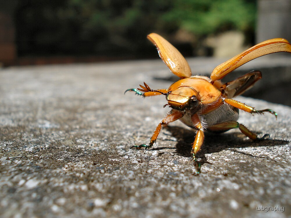 A Christmas beatle just about to take flight by wbgraphy