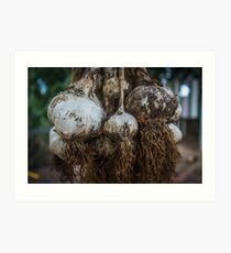 Garlic harvest #2 Art Print
