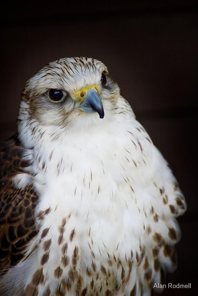 Gyr Falcon by Alan Rodmell