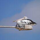 Australian Pelican, Baudin Beach, Kangaroo Island, South Australia by Margaret  Hyde