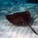 Shallow water stingray by Christian  Zammit