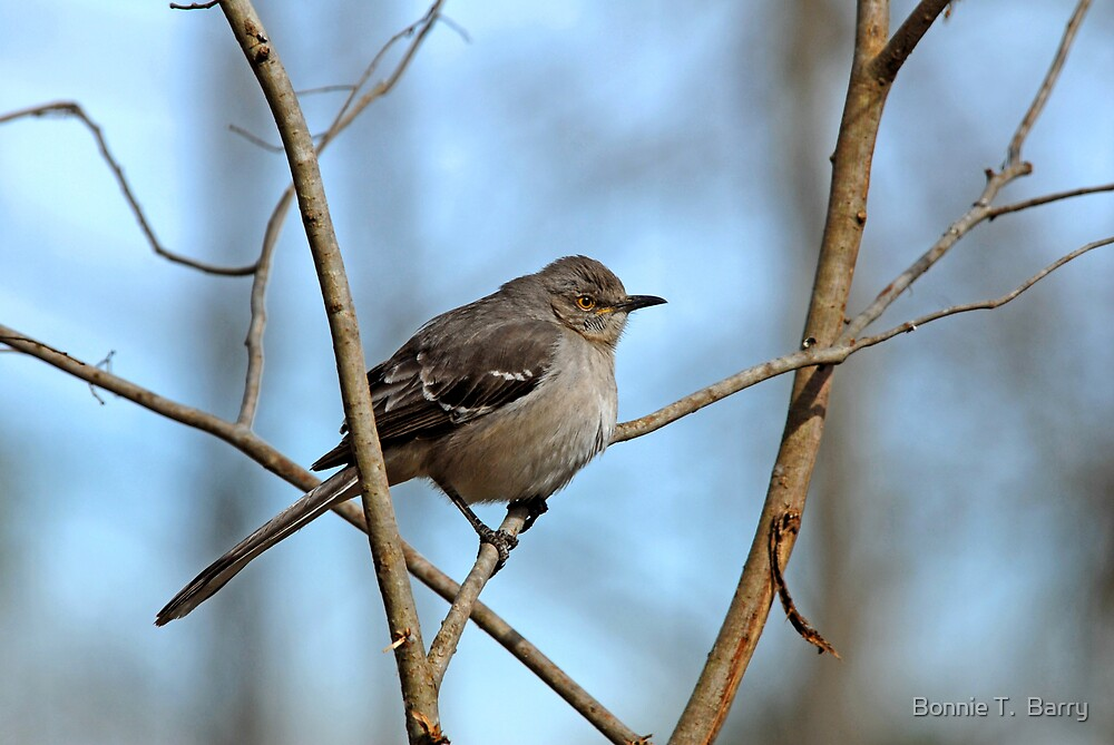 Mockingbird on Frosty Morning by Bonnie T.  Barry