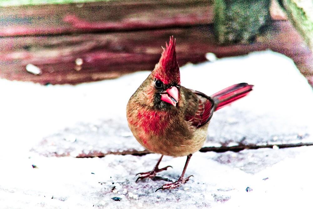 Cardinal With An Attitude by Rod  Adams