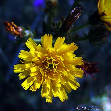 Yellow beauty... by Wimley