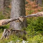 Eagle Owl in flight. by Dave Hare