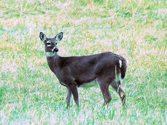 Lone Deer by Jessie  Austin