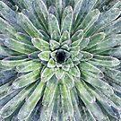 Saxifraga longifolia, Königssteinbrech by Martina Cross
