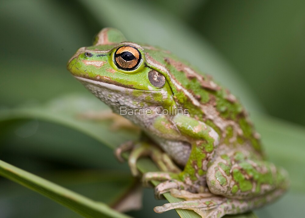 Spotted Thighed Frog ? or not! by Barrie Collins