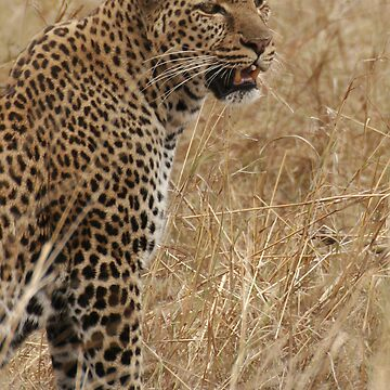 Leopard by SteveBulford