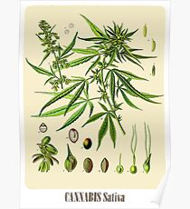 Cannabis Sativa Poster Poster