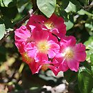Old Fashioned Roses by kalaryder
