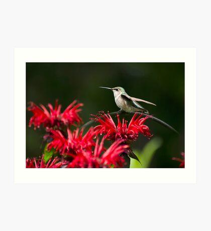 Hummingbird on Flowers Art Print