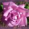 *Avatar/Mauve Rose - Gorgeous Flower Cards*