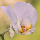Orchid Dreams by peaky40