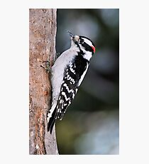 Male Downy Woodpecker Photographic Print