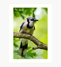 Blue Jay on Perch Art Print