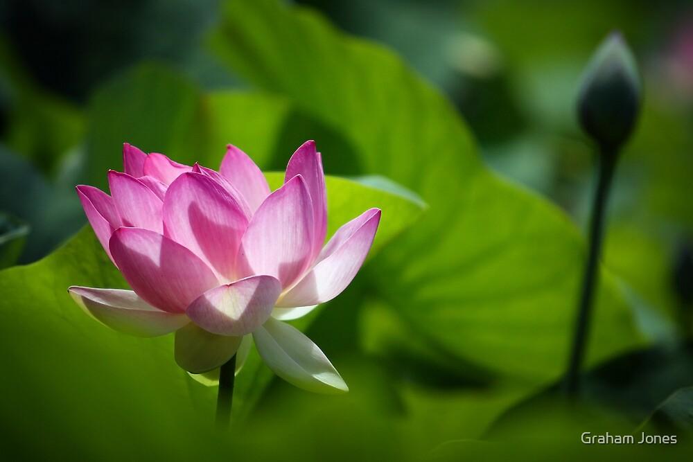 Sacred Lotus by Graham Jones