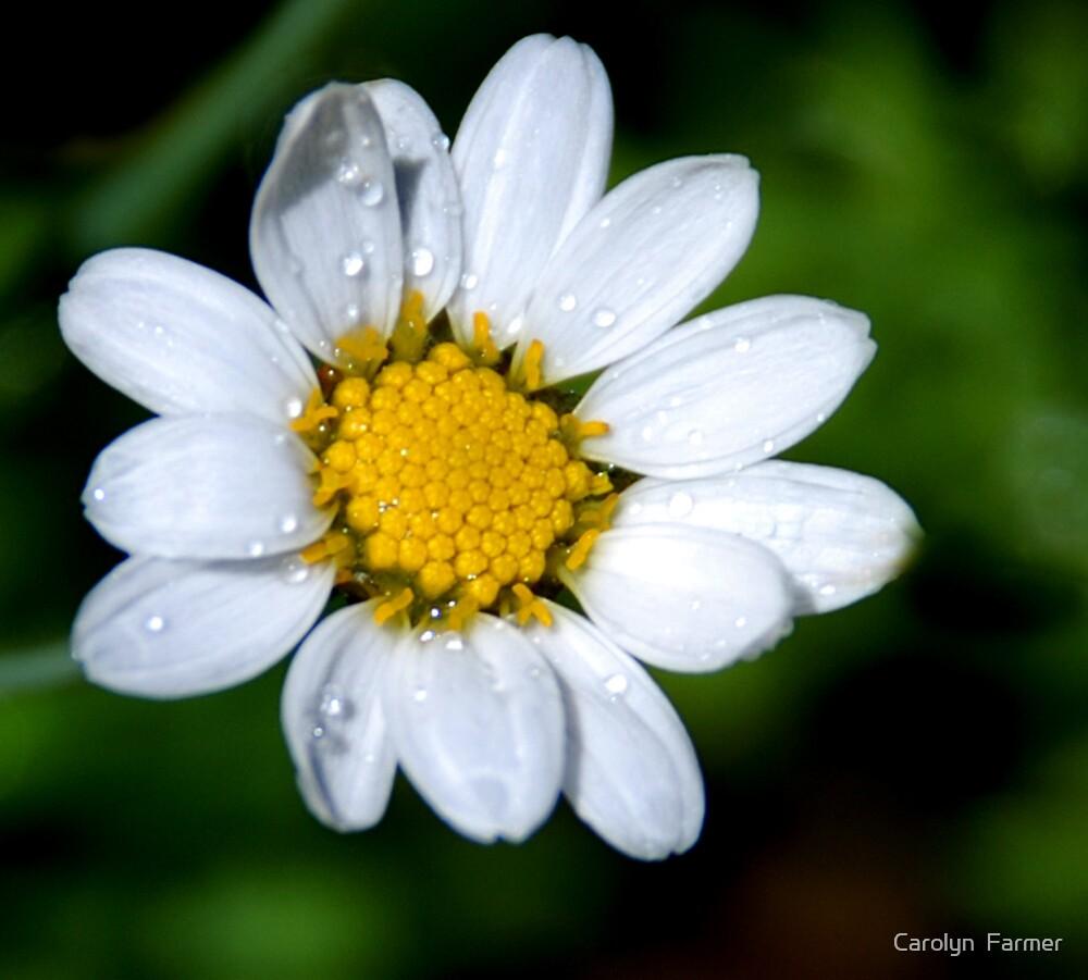 The Dainty Flower by Carolyn  Farmer