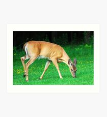 White Tail Deer Art Print