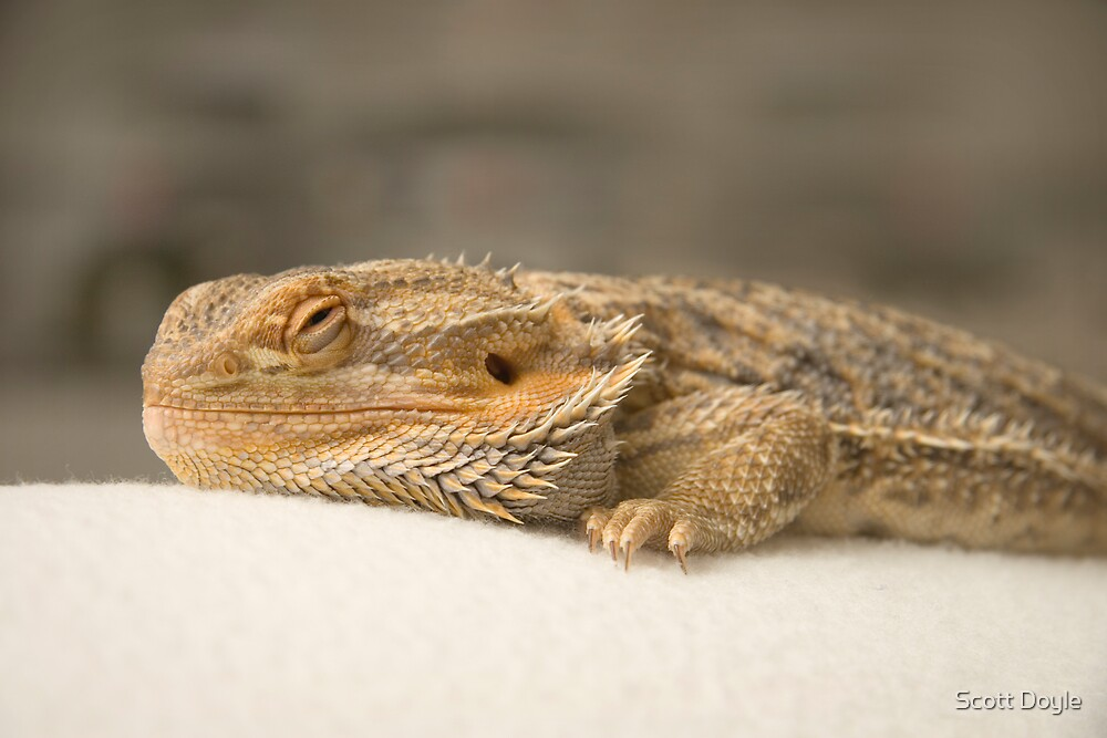 bearded dragon by Scott Doyle