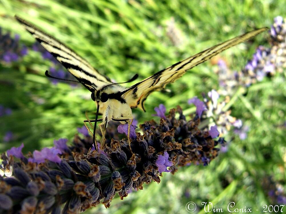 Nectar sucker... by Wim Conix