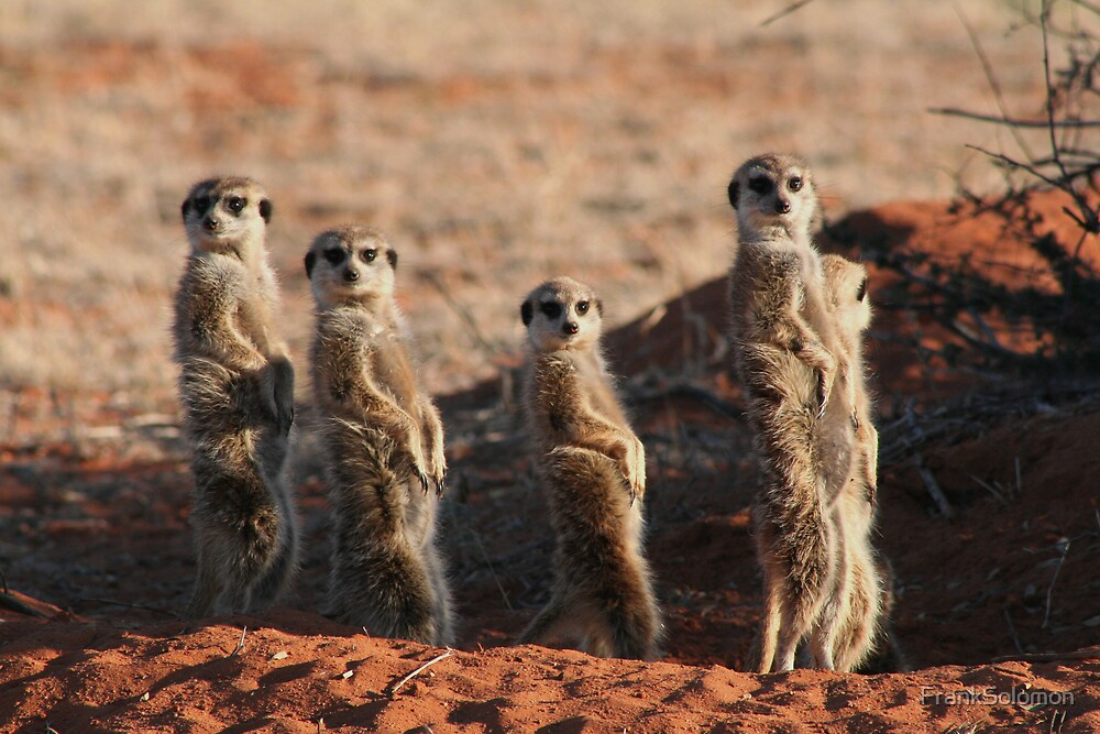 Meerkats by FrankSolomon