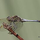 Blue Dragonfly by Warren Taylor