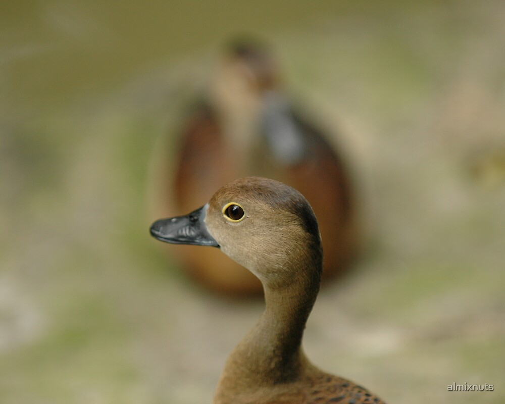 Duckling by almixnuts
