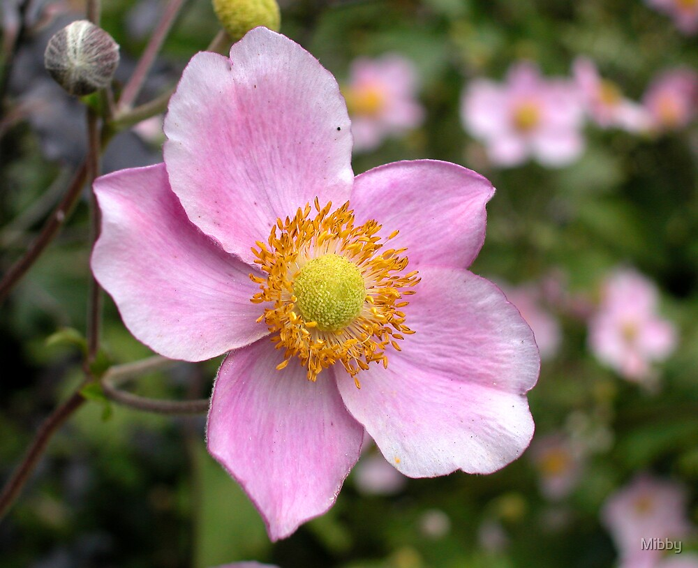 Pink Japanese Anemone by Mibby