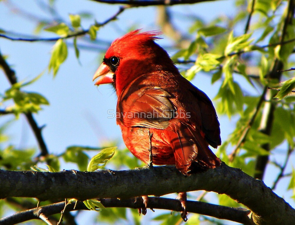 Red Cardinal by S Gibbs