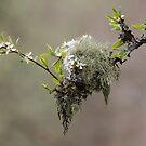 Blackthorn Blossom by Neil Bygrave (NATURELENS)