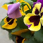 Celebration Pansies by Fay270
