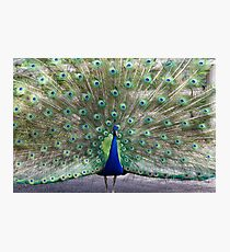 New Orleans Audubon Zoo Peacock  Photographic Print
