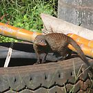 Banded mongoose by richeriley