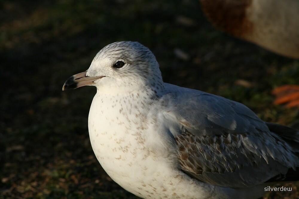 Seagull by silverdew