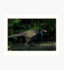A Peacock / Pheasant Cross Art Print