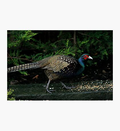 A Peacock / Pheasant Cross Photographic Print
