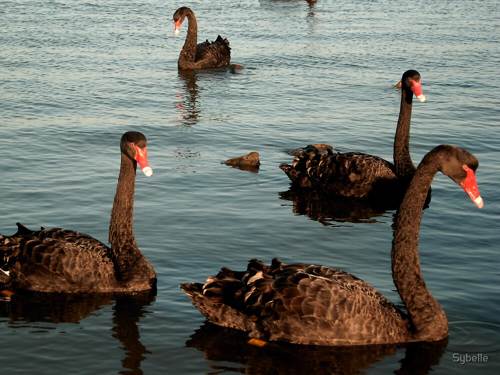 Four Black Swans by Sybelle