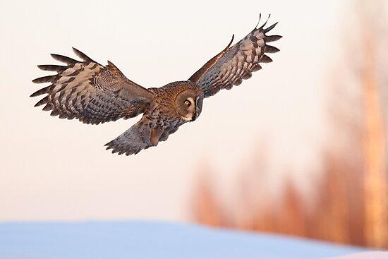 Great Grey Owl in flight by Remo Savisaar