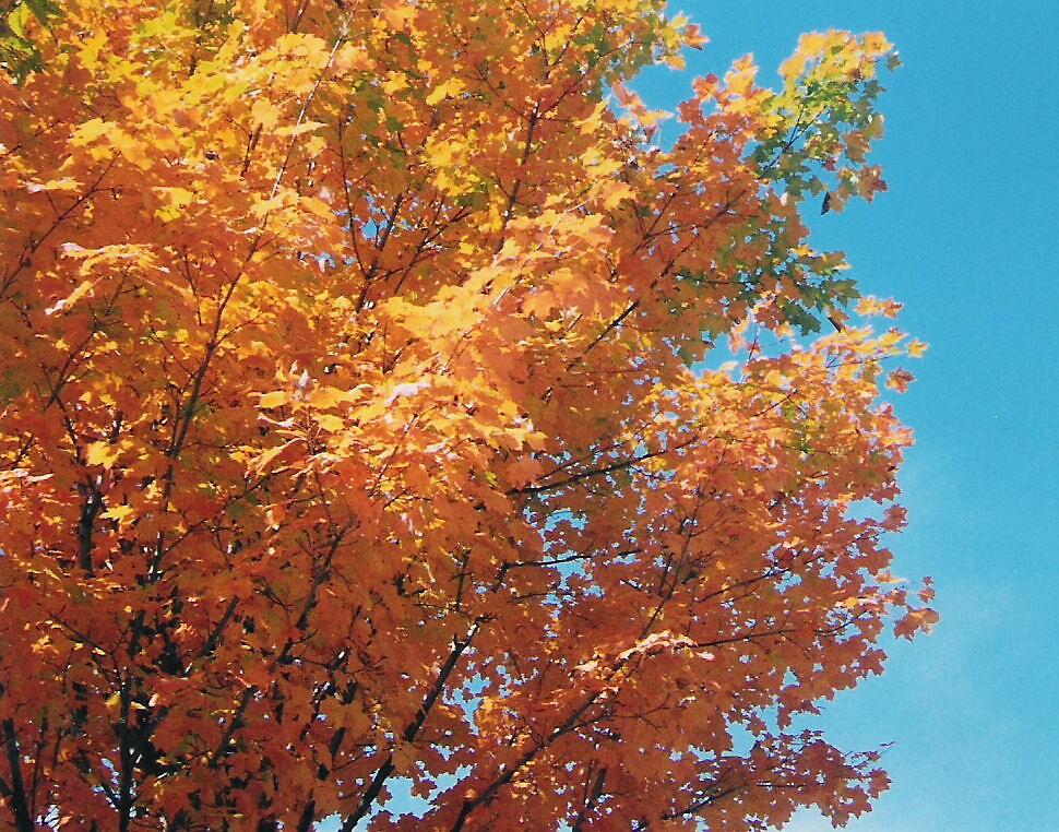 Fall Tree by Jessie  Austin