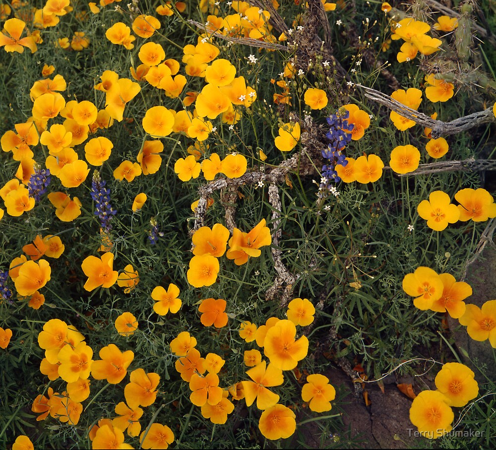 To Be In The Desert When The Poppies Are In Bloom by Terry Shumaker