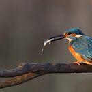 Kingfisher with fish by Remo Savisaar