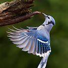 Blue Jay in Flight by MIRCEA COSTINA