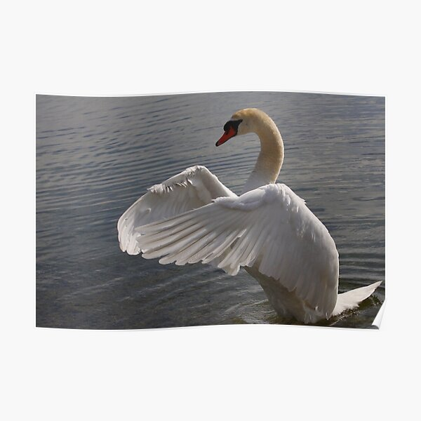 Mute Swan #1  Poster