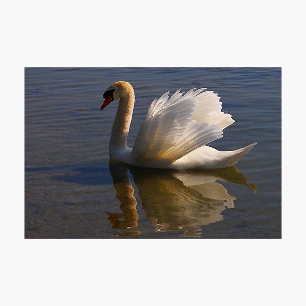 Mute Swan #1   Photographic Print